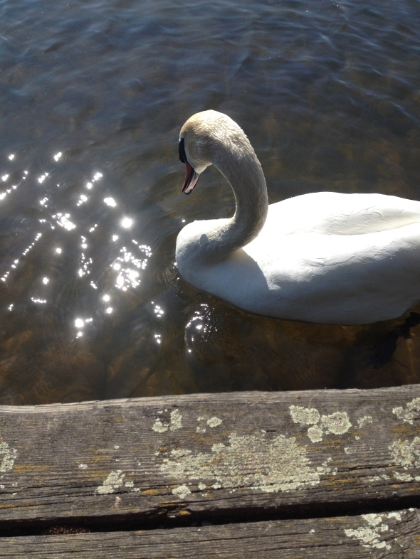 Danish swan harasses me for food I don't have.