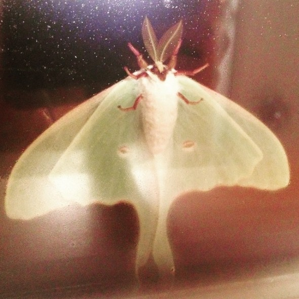 Luna moth clinging to my bathroom window.