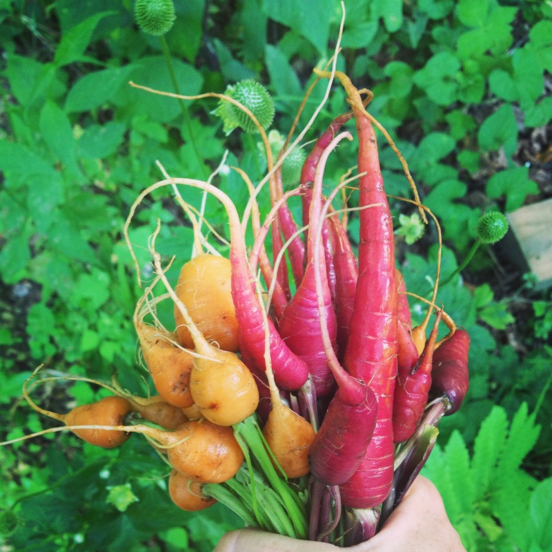 Red dragon and french market carrots I grew.